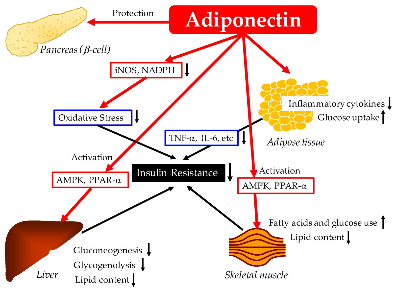 The hcg diet and adiponectin.